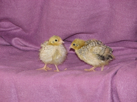 Those quail chicks!